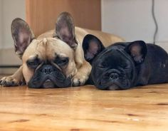Little Burritos, Toby and Onyx (Onny), French Bulldog Brothers ❤❤