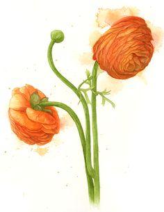 Ranunculus asiaticus Botanical Watercolour — Amanda Farquharson