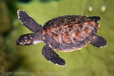 Hawksbill sea turtle (Eretmochelys imbricata), Fiji