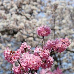 新宿御苑の桜です 新宿御苑 #桜 #八重桜 # cherry #TOKYO #SAKURA #八重桜 #JAPAN