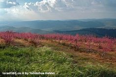 A flowering peach orchard in the community of Bat Ayin, in the Judean Mountains just south of Jerusalem
