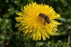 Dandelions and honey bees: a reason not to weed. Feeding Bees, Lip Balm Labels, Honey Shop, I Love Bees, Dandelion Flower, Weed Killer, Save The Bees, Bee Happy, Bee Keeping