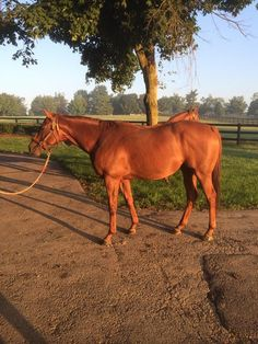 Groupie Doll, in foal to Tapit,  and looking happy
