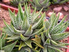 Plantes grasses : Haworthia Kingiana                                                                                                                                                      Plus