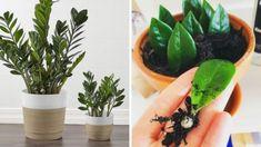 Zamiokulkas – jedna úžasná izbovka, ktorej pestovanie zvládne aj dieťa: Dajte si ju bytu a bude vás tešiť roky! Planter Pots, Fit, Shape, Plant Pots