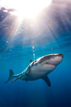 Freediving with Great White Sharks » Design You Trust. Design, Culture & Society.