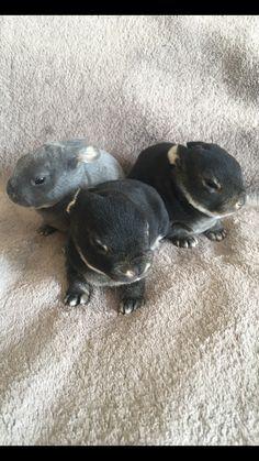 Mini Rex Otter Babies. 13 days old