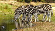 Zebra herd at the Sand river #sabisands #inyatisafari #safarivacation #wildlifephotography #AmazingAfrica