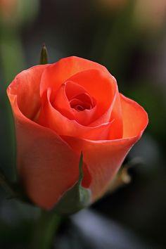 Brian Valentine - Cut rose  http://www.flickr.com/photos/lordv/8025764904/in/faves-14833125@N02/