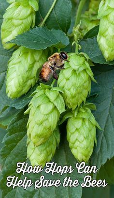 How Hops Can Help Save the Bees from Colony Collapse Disorder - Plant local bee friendly plants such as red clover, bee balm, foxglove, asters, sunflowers and goldenrod. For more information on bee friendly plants, please visit either the honeybee conserv