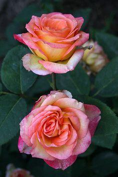'Dark Milva' | Hybrid Tea Rose. Tantau, 2006 | © Oliver