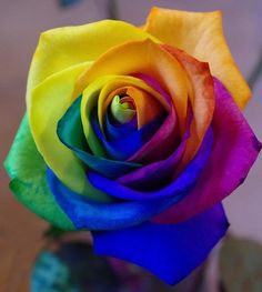 New Rose Species Spotted - Amazing Flower Phone Wallpaper, Rainbow Wallpaper, Flower Wallpaper, Wallpaper Lockscreen, World Of Color, Color Of Life, Infinity Wallpaper, Beautiful Rose Flowers, Black Flowers