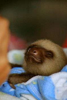 Baby sloth!