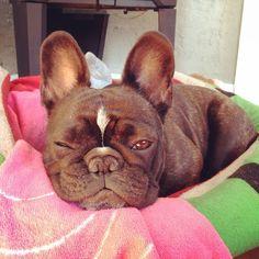 Sleepy French Bulldog.