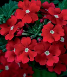 Verbena 'Tukana Scarlet Star' - Scarlet flowers with a white center would be a bold addition for any sunny container.