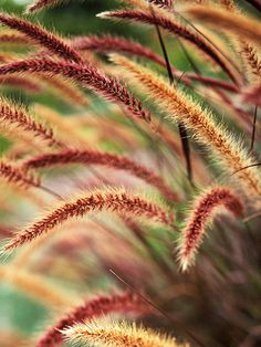 Purple Fountain Grass - Love this in a container with a lower flowering plant around the bottom. May just need to do a new pot! This is a heat lover too! Great for Texas.
