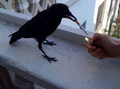 Smoker in a past life comes back as a crow?!