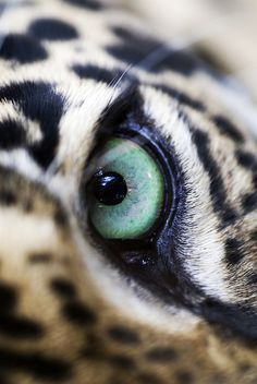 Jaguar Eye by Fat Steel Panda by carter flynn I Love Cats, Big Cats, Crazy Cats, Nature Animals, Animals And Pets, Cute Animals, Wild Animals, Beautiful Cats, Animals Beautiful