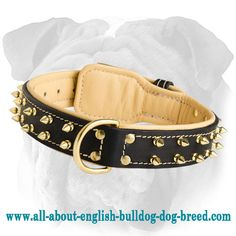 #English #Bulldog #Breed #Spiked #Leather #Collar Adjustable $89.00 | www.all-about-english-bulldog-dog-breed.com