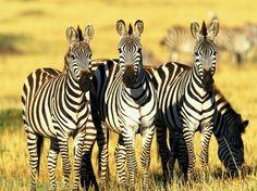 A zebra, em particular, exerce desde sempre uma atração muito especial sobre o homem.