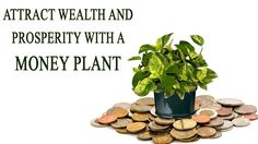 Attract Wealth and Prosperity with a Money Plant