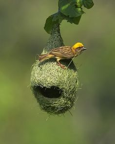 abelladeste: i recently discovered that birds actually weave their nests!