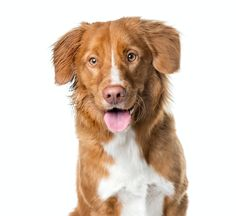 I recently adopted a Nova Scotia Duck Tolling Retriever. He is a wonderfully energetic puppy, but I have a lot to learn yet about this breed. One Curly Coated Retriever, Nova Scotia Duck Tolling Retriever, Golden Labrador, Pet Dogs, Pets, Purebred Dogs, Left Alone, Dog Love, Close Up