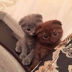 Latest Cost-Free cats and kittens scottish fold Popular After you carry the latest cat in to your own home, it is an interesting time frame, plus for a lot of canine Scottish Fold Kittens, Cat House Diy, Cat Enclosure, Reptile Enclosure, Munchkin Cat, French Bulldog Puppies, Maine Coon Cats, Horse Care, Cat Drawing