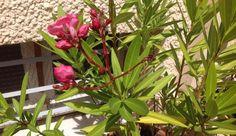 Laurier rose doctieur plantes