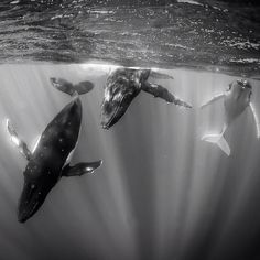 #ThrowbackThursday circa @2008 I spent many weeks seeking out some quality time with these gentle giants. On this occasion after swimming directly at me they dove deep below and then suddenly turned and spiraled up from the depths surrounding me in an elegant dance. It is still one of the most memorable and magical #ocean experiences I've had. It is estimated that Humpback Whales historic populations could have been as high as 1.5 million. Today their population represents less than 10% of…