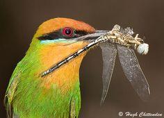 Bee eater..... like a jewel :)