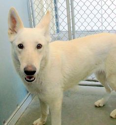 """Beautiful Josie is looking for her forever home, and she is A-OK with cats!! Find """"Josie OK with the Puddy Tats"""" at  German Shepherd Rescue & Adoptions =D ("""""""") ("""""""") in North Carolina !"""