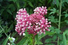 """Botanical word of the week for Feb. 20 2012 is incarnata (in-kar-NAH-tuh)  From the Latin, meaning """"to make flesh"""" and describes plants with pink or flesh-colored blossoms or stems such as the swamp milkweed, Asclepias incarnata."""
