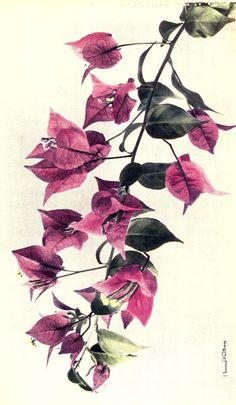buganvilla old botanical painting - Buscar con Google