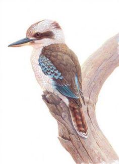 Home - Jeremy Boot Native Drawings, Bird Drawings, Cute Drawings, Bird Pictures, Pictures To Draw, Teen Art, Cottage Art, Bird Artwork, Australian Animals