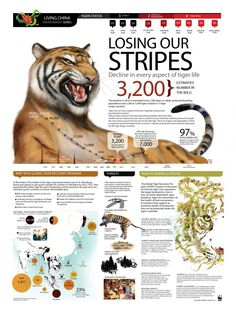WWF-Tiger Facts & The Future: With as few as remaining, action is needed to increase and strengthen their habitat and protect the species from major threats such as poaching. Tiger Species, Endangered Species, World Tiger, Wwf Tiger, Tier Zoo, Tiger Facts, Lion Facts, Tiger Conservation, Nature