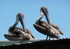 """""""Double Take"""" by Mary Evans, via Flickr. #pelican #gulf #wildlife"""