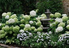 """Annabelle hydrangea in the white garden glows at night. Blooms can get to about 12"""" across."""