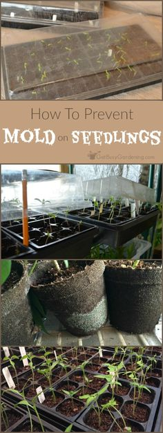 Finding mold growing in your seed trays is super frustrating and scary. Here's how to get rid of mold on seedlings, and stop it from growing back. Growing Vegetables, Growing Plants, Gardening For Beginners, Gardening Tips, Sustainable Gardening, Indoor Gardening, Organic Gardening, All About Plants, Starting Seeds Indoors