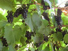 Fakanálforgató tollforgató: Székely szőlő - fűszeres szőlőlekvár Fruit