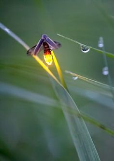 Fireflies...I love these beautiful little insects! They make so many children happy...and adults, I might add!
