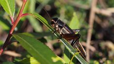 Noise Pollution Could Make it Hard For Crickets to Find Love Noise Pollution, Primates, Crickets, Primate