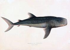 Tubarão-Baleia.