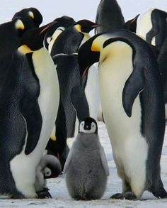 Collective nouns explained, with lists of examples including for animals people, objects, and how to use the correct verb form with collective nouns Collective Nouns, King Penguin, Life Poster, Our Life, Photo Editor, Climate Change, Penguins, How Are You Feeling, Happy