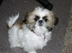 shih tzu dogs - Yahoo Image Search Results