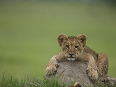 Lion Cub, Panthera Leo, Lying across a Mound of Soil © Beverly Joubert