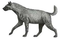 Chasmaporthetes   Pliocene-Pleistocene