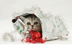 Cute Christmas Gift - Cats Wallpaper ID 1904911 - Desktop Nexus Animals Christmas Kitten, Cute Christmas Gifts, Cat Wallpaper, Cat Gifts, Owl, Teddy Bear, Bird, Animals, Desktop