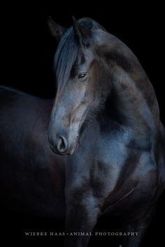 Pferd, Pferde, Friese, Pferdefotografie