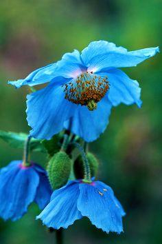 Nodding flowers of Meconopsis betonicifolia, Tibetan Blue Poppy ...